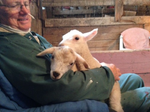 Cardigan the lamb being cuddled by a volunteer
